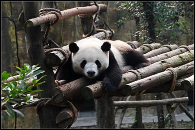【四川】熊猫乐园、九寨沟、桃坪羌寨、双卧品质6日游